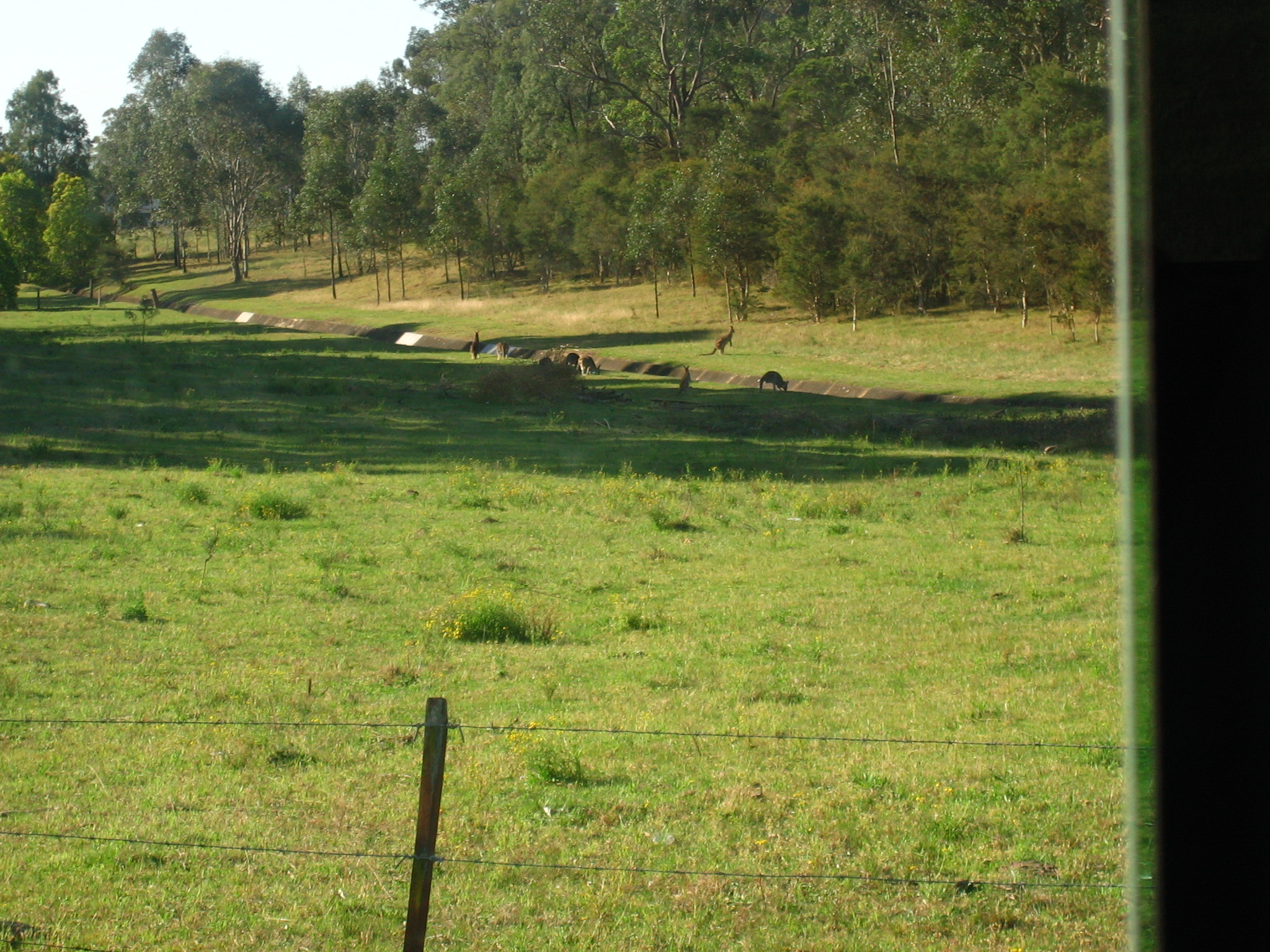 Sydney - Kangaroos by the road